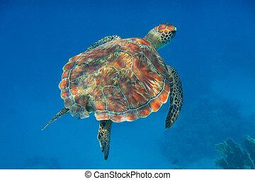 hawksbill turtle in the blue sea