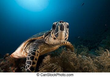 Hawksbill turtle in the Red Sea. - Hawksbill turtle in the ...