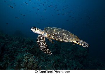 Hawksbill turtle in the Red Sea.