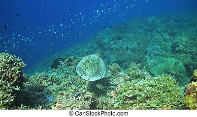 Hawksbill turtle swims on a Coral reef. A whitetip reef shark and a school of Butterflyfish around