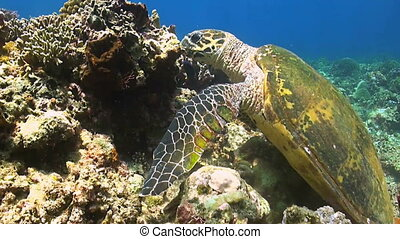 Hawksbill Turtle on a coral reef when eating