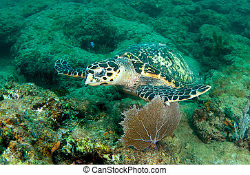Hawksbill turtle on a reef ledge.