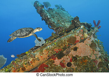 Hawksbill Turtle swimming over a coral encrusted shipwreck