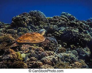 hawksbill turtle swims at colorful corals in the red sea