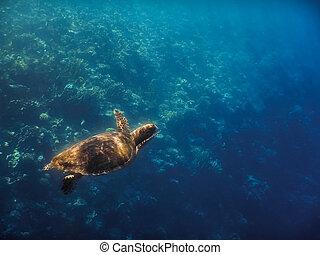 hawksbill turtle swims in blue sea in egypt