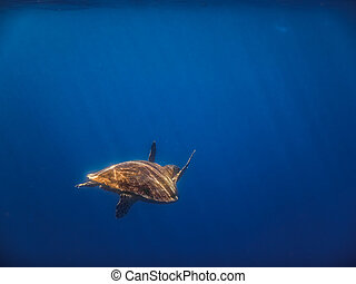 hawksbill turtle swims in blue water with sunrays