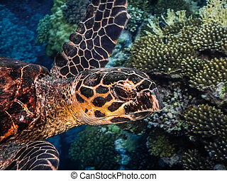 hawksbill turtle swims in the sea large view