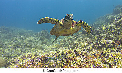 Hawksbill turtle swims over a Coral reef