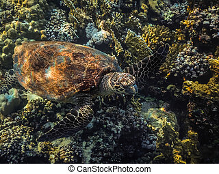 hawksbill turtle swims over corals while diving in egypt