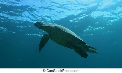 Hawksbill turtle swims to the surface