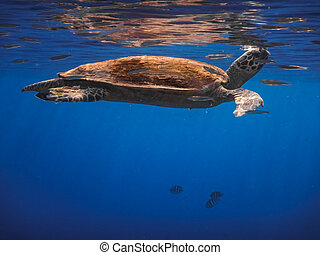 hawksbill turtle swims under the surface to breathe in the red sea