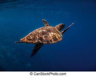 hawksbill turtle swims while diving in blue water