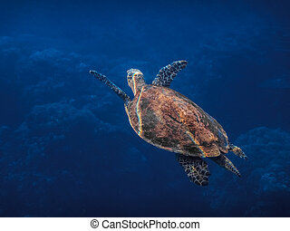 hawksbill turtle swims while diving to the surface