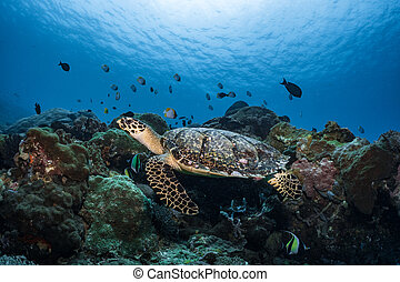 Hawksbill turtle underwater swimming on coral reef scuba diving