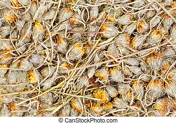 Hawkweed are drying for herbal medicine use.