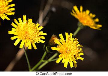 hawkweed, gele bloem