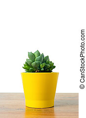Haworthia in a yellow pot