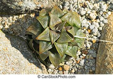 haworthia, retusa, liliaceae