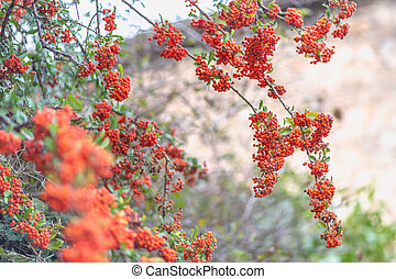 Small red berries with green leaves. Nature blurred background. Shallow depth of field. Toned image