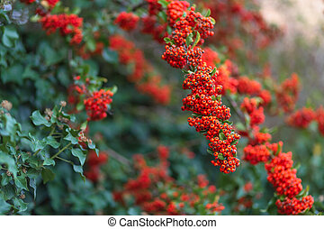 red berries with green leaves. Nature blurred background. Shallow depth of field. Toned image