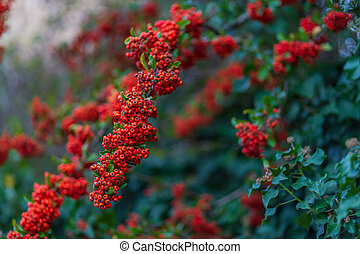 Hawthorn autumn berries. Nature blurred background. Shallow depth of field. Decorative bush with red berries.