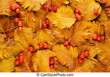 Hawthorn autumn leaves and berries