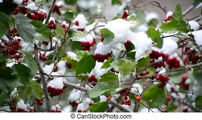 Hawthorn berries and green leaves in  snow