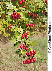 hawthorn berries - berries on the hawthorn tree - bush with...