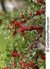 hawthorn berries in crisp light