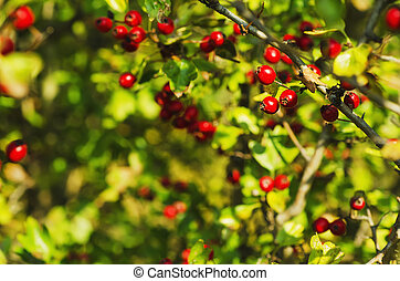 Hawthorn berries in nature