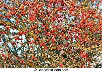 hawthorn berries in winter