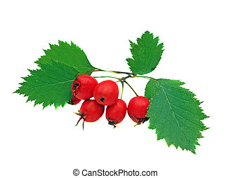 Hawthorn berries on a branch isolated on white