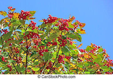 Hawthorn berries on blue sky background