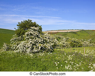 hawthorn blossom at Millington Pastures
