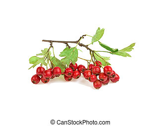hawthorn branch on a white background