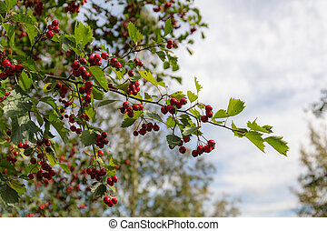 branch with ripe berries