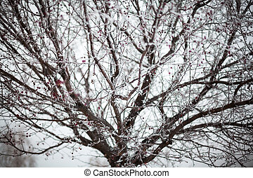 Hawthorn covered with hoarfrost
