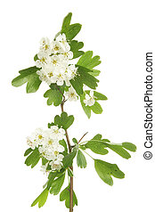 May blossom - Hawthorn flowers and leaves, also known as May...