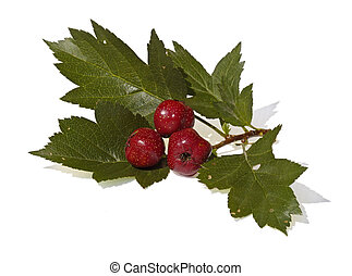 Hawthorn, isolado, ramo, frutas