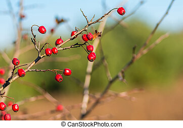 Hawthorn red berries in nature, autumn background
