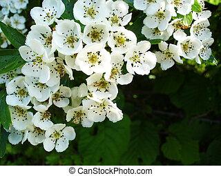 hawtorne, fleurs