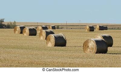 Hay bales in a field. Alberta. - Bales of hay in a field...