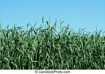 Hay growing in a field - Freash hay growing in a field