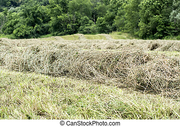 Hay making- windrows - Windrows of hay drying in a hay field