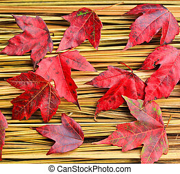 Hay Maple Leaf