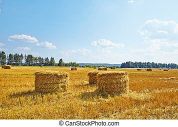 Hay vertical rolls on harvest field. Sunny day.