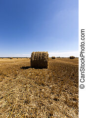 haystacks straw lying in the agricultural field after harvesting cereal