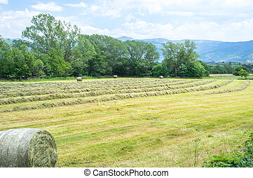 Haytime and rolls of hay in field