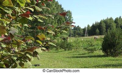 Hazel filbert tree with hazelnuts on branch in farm. 4K -...