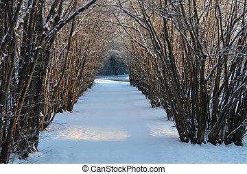 Hazel tree avenue a sunny winter da